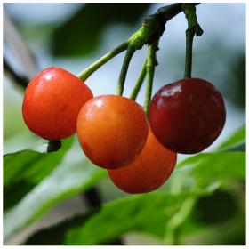 四川厂家直销的冰糖樱树苗,樱桃树苗批发基地