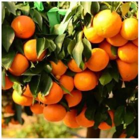 四川优质的柑橘果苗基地口感比大雅柑还要好吃的品种红美人柑橘果苗