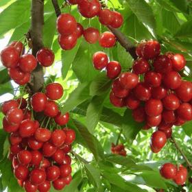 四川玛瑙红樱桃树苗基地,优质樱桃树苗