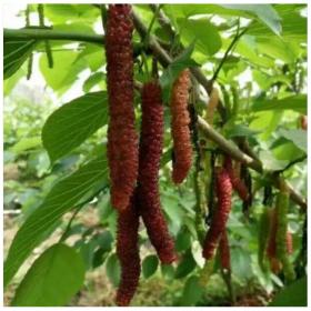 台湾长果桑树苗厂家直销基地比普通的桑葚还要甜的长果桑树苗