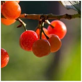 四川四月份成熟的攀西脆樱桃树苗基地直供樱桃树苗