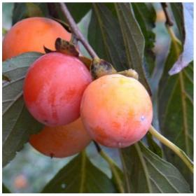 四川比糖果还要甜的甜柿子苗木日本甜柿子树苗